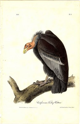 Californian Turkey Vulture
