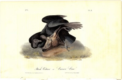 Black Vulture, or Carrion Crow