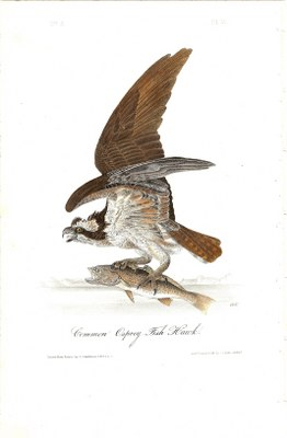Fish Hawk, or Osprey - Click Image to Close